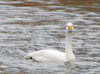 20120226_Swan01.JPG