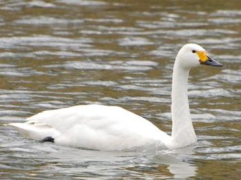20120226_Swan02.JPG
