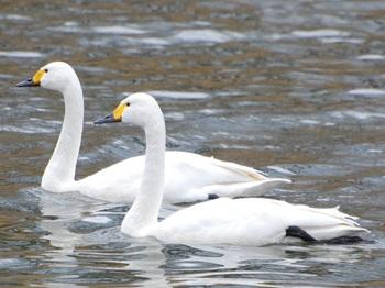 20120226_Swan03.JPG