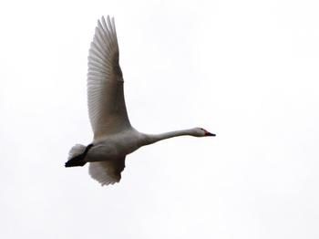 20120226_Swan04.JPG