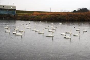 20120318_Swan01.JPG