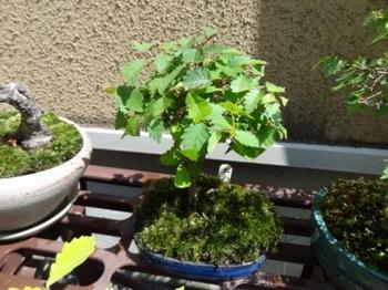 20130505_bonsai04.jpg