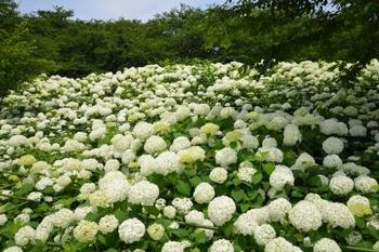 20130622_GongendoAjisai04.jpg