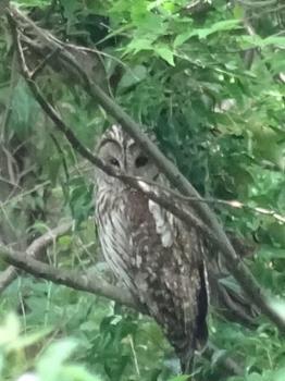 20150524_Owl1.jpg