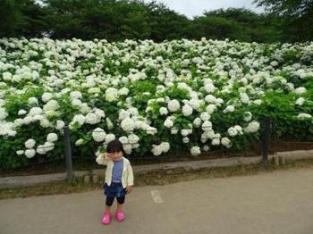 20150621_Ajisai4.jpg