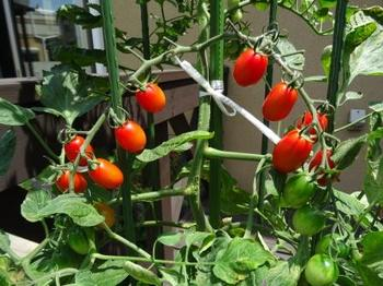 20160710_Tomato.JPG